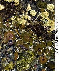 Tidal Pool - Shells, anemones, etc. in tidal pool