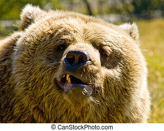 angry bear - A close up on a big angry bear.