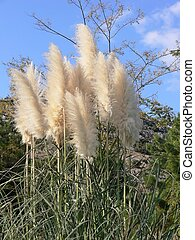 Pampas grass. - Tall pampas-grass in an park in Israel under...