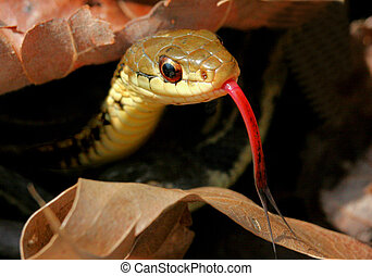 Garter Snake Tongue - Garter Snake sticking out his tongue