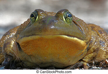 Bull Frog - Close-up of a large Bull Frog just after coming...