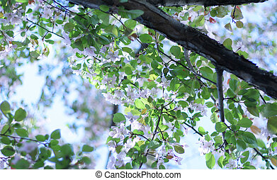 plum or cherry blossoms - Lovely plum or cherry blossoms on...