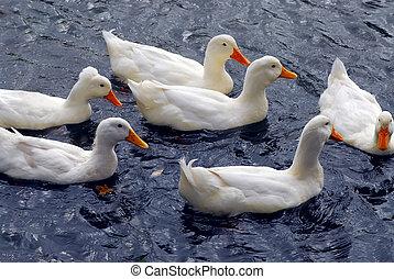 White ducks - Flock of white ducks swimming in the pond
