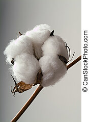 Cotton ball - Close-up of Ripe cotton ball on branch...