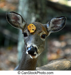 White-tailed deer (Odocoileus virginianus) - Picture of a...