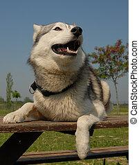 siberian husky - purebred siberian husky