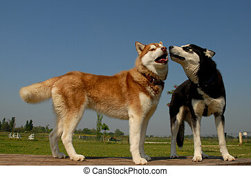 two huskies - two siberian huskies