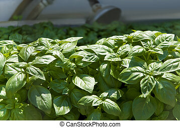 basil plants in the garden - green basil plants in the...