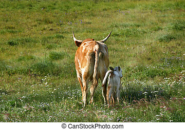 Long Horn Cow and Newborn Calf (Bos taurus) - A long horn...
