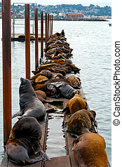 gaggle of seals - group of sea lions sitting on pier on the...