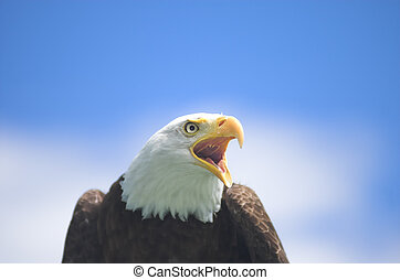 Screaming Bald Eagle - Bald Eagle screaming at something in...