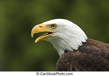 American Bald Eagle chirping at something he sees