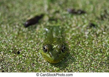 Frog Closeup in Pond - Green frog floating in pond, very...
