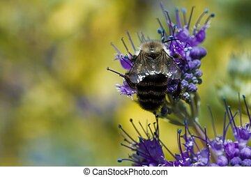miel, abeja, W, púrpura, flor