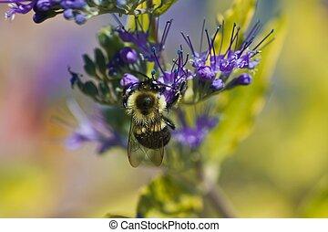miel, abeja, púrpura, flor
