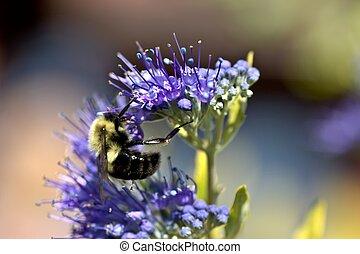 miel, abeja, púrpura, flower3