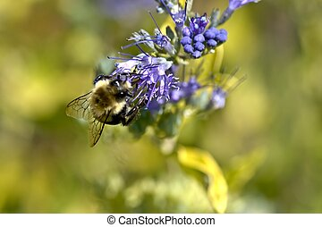 miel, abeja, púrpura, flower4