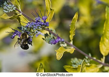 miel, abeja, púrpura, flower5