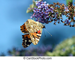 Red Admiral Butterfly - A general view of Red Admiral...