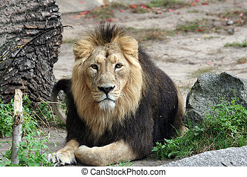 Portrait of a Noble Lion lying on the ground