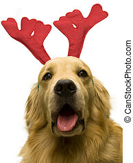 christmas dog reindeer - close up photo of cute doggy...