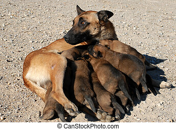 female shepherd and puppies - female purebred belgian...