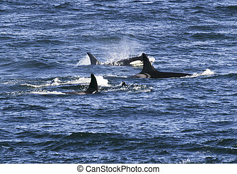 Pod Of Killer Whales - A small pod of four orca whales are...