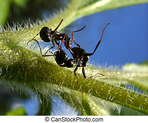fight of black garden ants