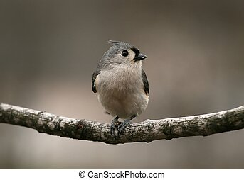 Tufted Titmouse - A Tufted Titmouse holding on to a seed.