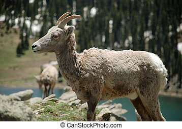 wild mountain sheep - Pecos Wilderness, NM
