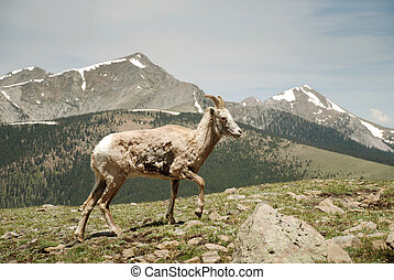 Wild mountain sheep - and Trunchas Peaks, New Mexico