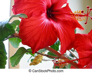Red Hibiscus - Red hibiscus flower close-up