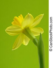 Yellow daffodil - Close-up of yellow Easter daffodil against...