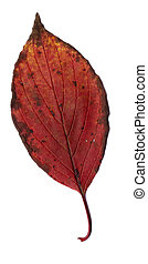 autumn leaf, isolated