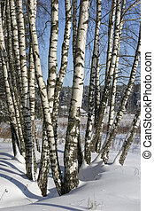 Birches in winter - Several trees of the birch rising in...