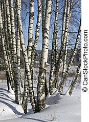 bouleaux, hiver