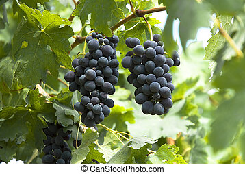 bunches of grapes - brunches of grapes and leaves on the...