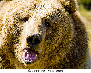 angry bear - A close up on a big angry bear