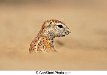 Ground squirrel - Desert dwelling ground squirrel (Xerus...