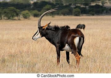 Sable antelope - Rare sable antelope (Hippotragus niger),...