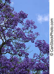 Jacaranda Blues - I like the colours in this shot