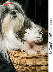 Two Dogs In A Basket 2 - Cute Shih Tzu puppy dogs sitting in...