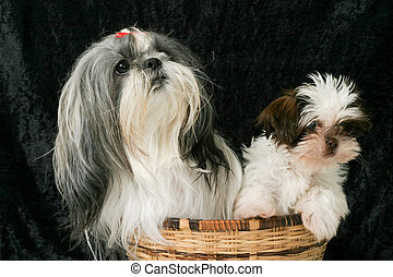 Two Dogs In A Basket 3 - Cute Shih Tzu puppy dogs sitting in...
