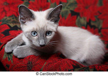 Innocent Eyes - Sweet and innocent, lilac point Siamese...