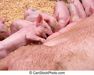Feeding Frenzy - A bunch of cute piglets all lining up to...