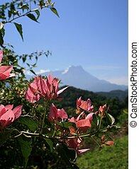 Malaysia - Mt Kinabalu in Malaysia, Borneo with Bouganvilla...