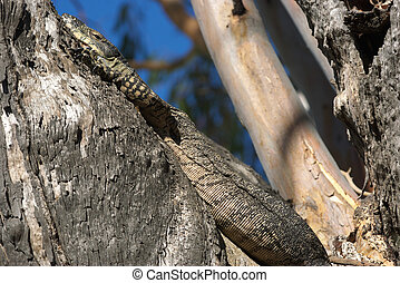 goanna in tree - a big lace monitor goanna lizard lays in a...
