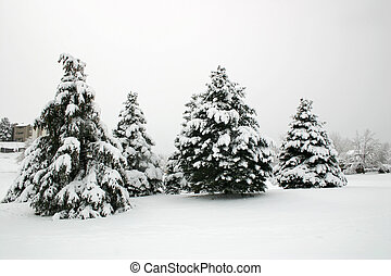 Snowfall Trees - Snow covered evergreen trees on a snowy,...