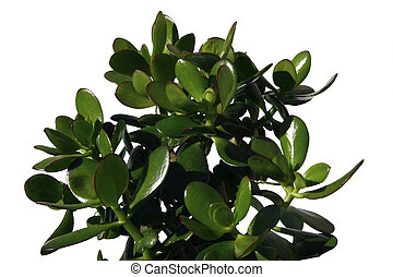 money plant - a money plant against a white background