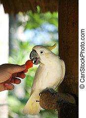Parrot - The person feeds with carrots white parrot